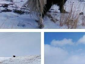 牦牛、雪山、戈壁